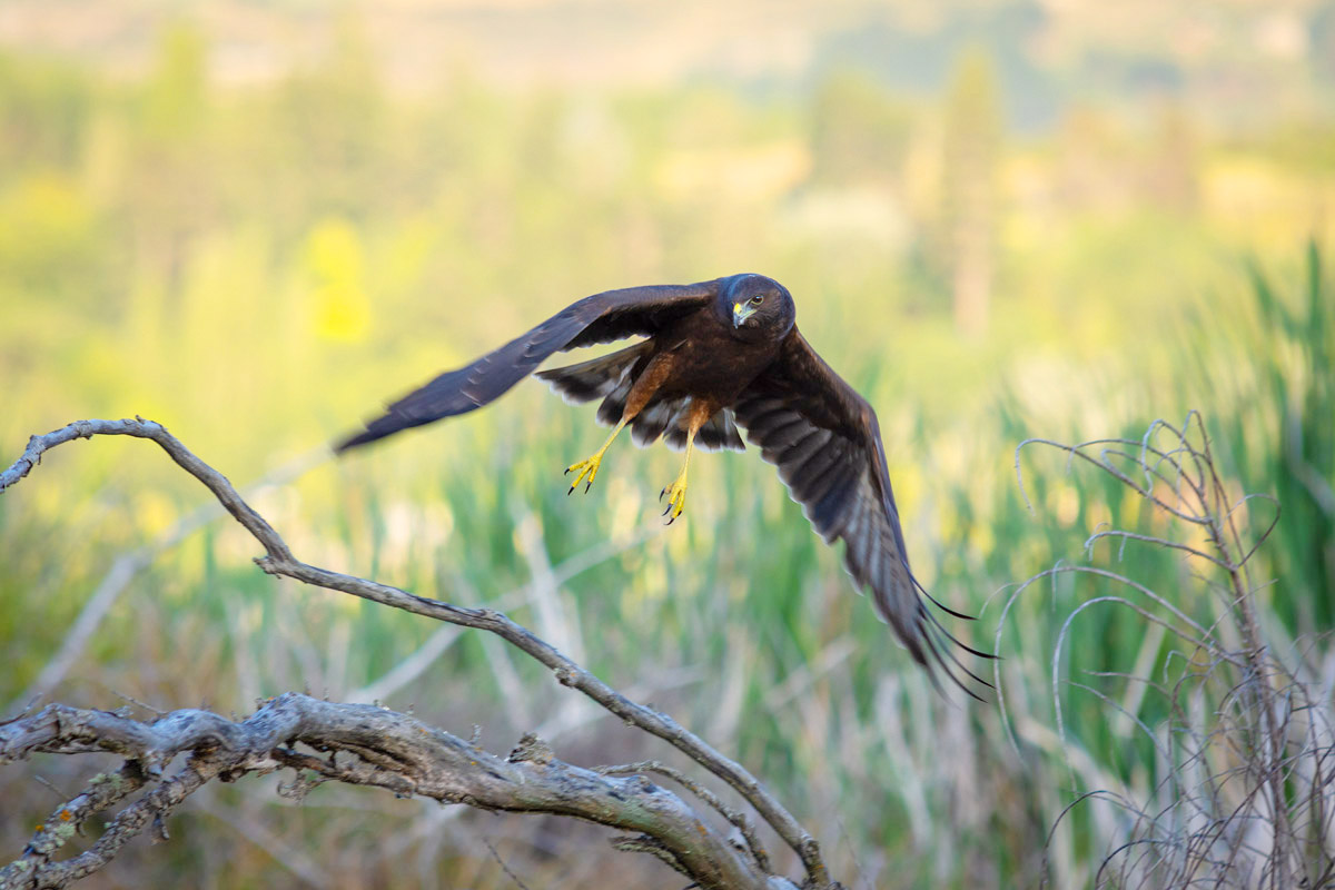 Swamp Harrier (kāhu)